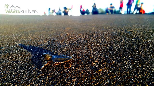 Wisata Konservasi Penyu pantai samas